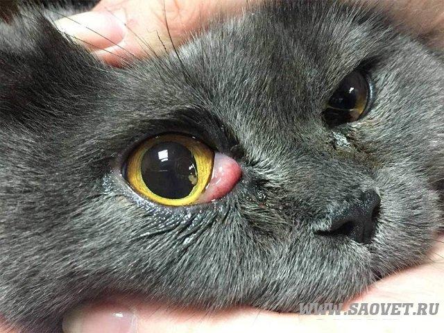 Turkish Angora Cat Breed Profile  Petfinder