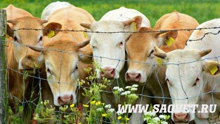 Губкообразная энцефалопатия крупного рогатого скота